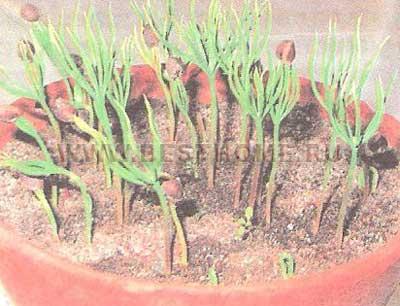 Условия для выращивания семян сосны 293
