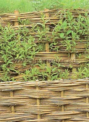 Живая плетеная изгородь
