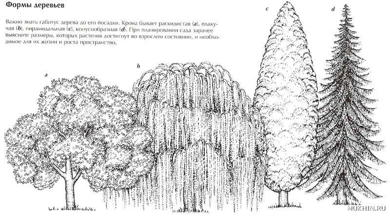 Формы крон естественно развивающихся плодовых деревьев - формирование и обрезка - природа photoshareru